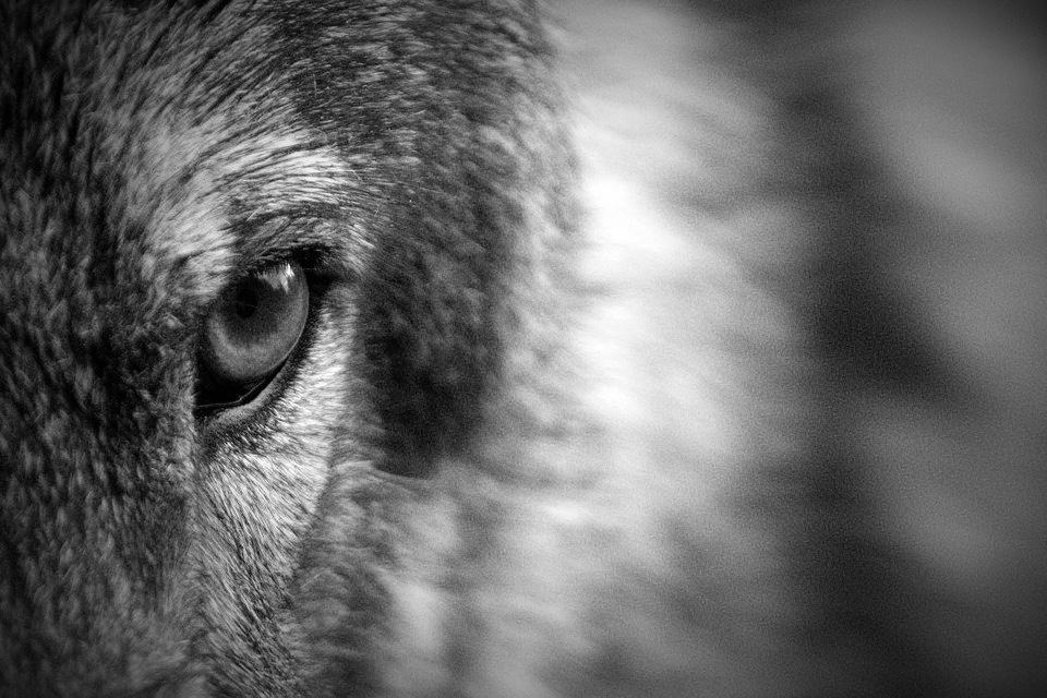 Todos los lobos